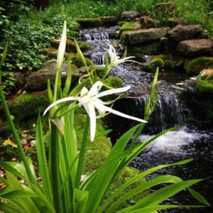A Cahaba Lily in full bloom in front of a Moss Rock waterfall.