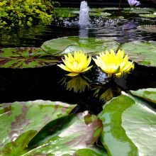 Water lily with two yellow flowers floating on a pond with a fountain