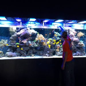 A marine aquarist feeds fish in a giant custom aquarium with custom lighting.