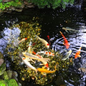 A beautiful collection of rare Japanese koi fish swimming in a crystal clear pond.