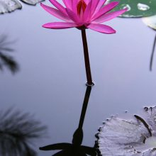 A night blooming lily with a pink flower in a water garden.