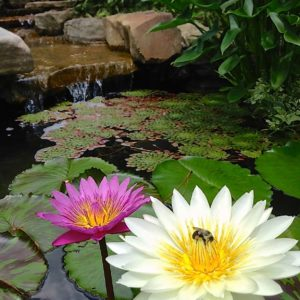 A pink flower and a white flower with a bee in a water garden.