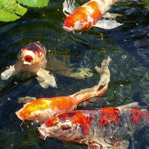 Koi fish swimming while begging for food in a water garden.