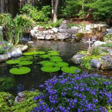 A picture of a backyard pond full of lillies and surrounded by purple plants.