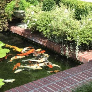 Japanese koi fish swimming in a small pond lined with bricks.