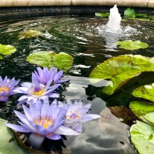 Purple flowers float next to water lilies in a water garden with a pond.