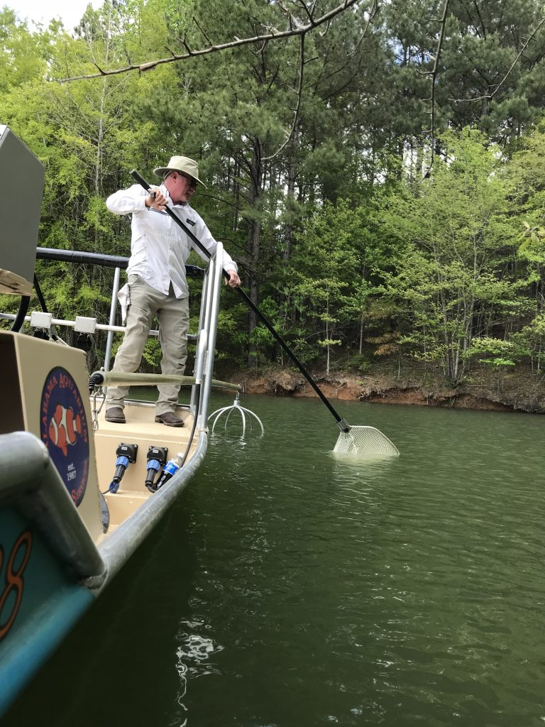 Phillip Moon uses a net to catch an electrofished bass in a lake from a boat.