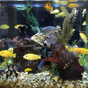Multi-colored African Cichlids swimming in an aquarium.