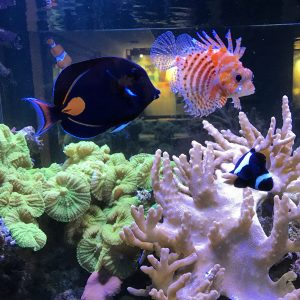 Very exotic lionfish and achilles tang swimming above a coral reef.