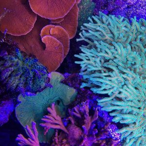 A picture of beautiful living aquacultured coral in a reef aquarium.