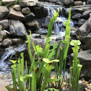 A picture of green carnivorous pitcher plants in front of a waterfall made of rocks.