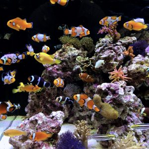 A bunch of clownfish swimming in an aquarium installed by Alabama Aquarium and Pond Services.